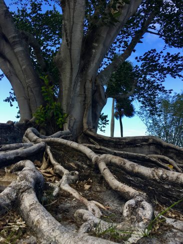 Roots from the Mysore Fig Tree