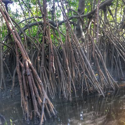 Mangroves on the Collier Seminole Paddle trail.